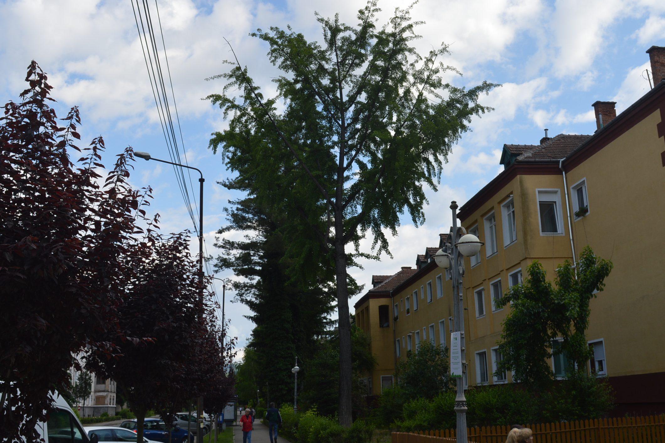 Reșița: Mai mulți arbori clasați ca monumente ale naturii, printre care arbori de lalea și un Ginkgo biloba, au fost tăiați sau mutilați 6