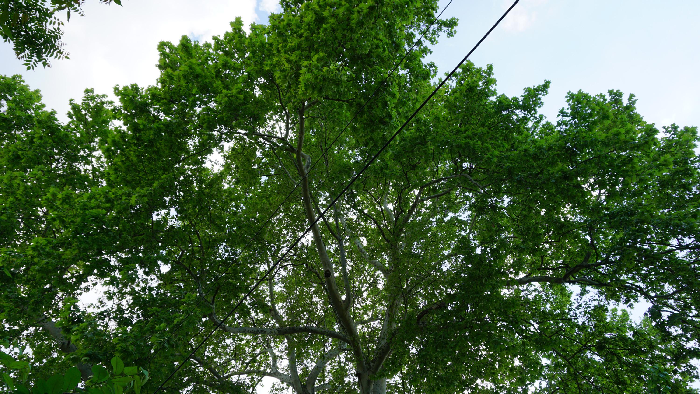 Reșița: Mai mulți arbori clasați ca monumente ale naturii, printre care arbori de lalea și un Ginkgo biloba, au fost tăiați sau mutilați 11