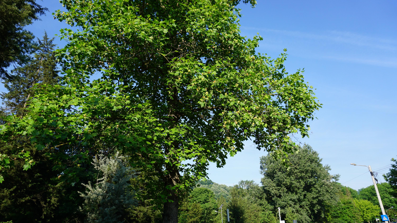 Reșița: Mai mulți arbori clasați ca monumente ale naturii, printre care arbori de lalea și un Ginkgo biloba, au fost tăiați sau mutilați 4