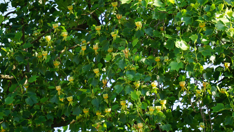 Reșița: Mai mulți arbori clasați ca monumente ale naturii, printre care arbori de lalea și un Ginkgo biloba, au fost tăiați sau mutilați 2